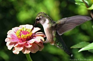 A Female Ruby Throated Hummingbird rests on a flower during feeding