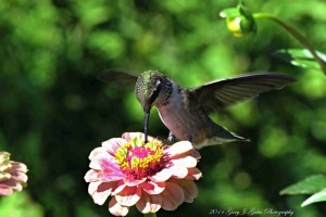 Another view of the female Ruby Throated Hummingbird from the Chicago Botanic Garden